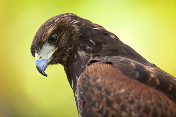 Harris Hawk Falconry
